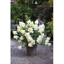 BCM Gehölze Hortensie Sundae Fraise, Höhe: 50-60 cm, 2 Pflanze