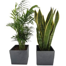 Dominik Zimmerpflanze Palmen-Set, Höhe: 30 cm, 2 Pflanzen in Dekotöpfen