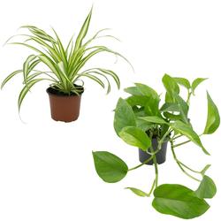 Dominik Zimmerpflanze Grünpflanzen-Set, Höhe: 30 cm, 2 Pflanzen
