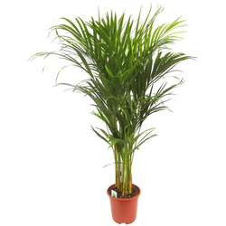 Dominik Zimmerpflanze Goldfruchtpalme, 90 cm Höhe, 1 Pflanze
