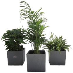 Dominik Zimmerpflanze Palmen-Set, Höhe: 15 cm, 3 Pflanzen in Dekotöpfen