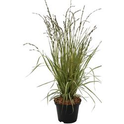 BCM Gräser Pfeifengras caerulea 'Variegata' Spar-Set, Lieferhöhe ca. 40 cm, 3 Pflanzen