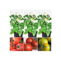 Volmary Gemüsepflanze Tiger-Line Set, 3 Sorten im Mix