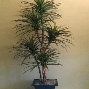 Blau Dracaena Palm Seeds (Cordyline indivisa) 50 + Seeds