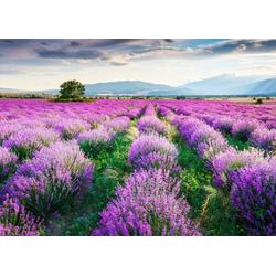 Fototapete Lavende Garden, glatt 4 m x 2,60 m