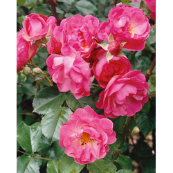 BCM Beetpflanze Bodendeckerrose Pink Harmony