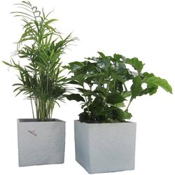 Dominik Zimmerpflanze Palmen-Set, Höhe: 15 cm, 2 Pflanzen in Dekotöpfen