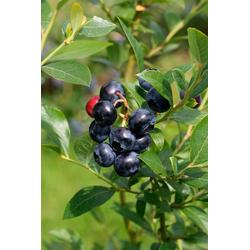 BCM Obstpflanze Heidelbeere Putte, Höhe: 30-40 cm, 1 Pflanze