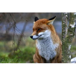 Papermoon Fototapete Red Fox bunt Fototapeten Tapeten Bauen Renovieren