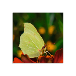 Artland Glasbild Zitronenfalter, Insekten (1 Stück) 30 cm x 30 cm x 1,1 cm