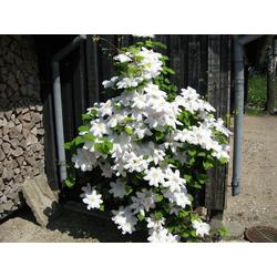 BCM Kletterpflanze Waldrebe 'Madame Le Coultre', Lieferhöhe: ca. 60 cm, 1 Pflanze