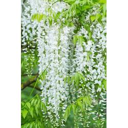 BCM Kletterpflanze Blauregen 'Longissima Alba' Spar-Set, Lieferhöhe: ca. 60 cm, 2 Pflanzen