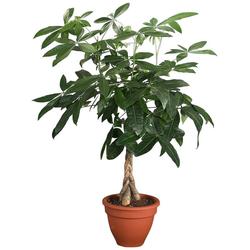 Dominik Zimmerpflanze Glückskastanie, Höhe: 60 cm, 1 Pflanze