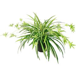 Kunstpflanze Wasserlilie, I.GE.A., Höhe 40 cm, Im Topf