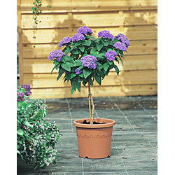 BCM Beetpflanze Vanilleblume