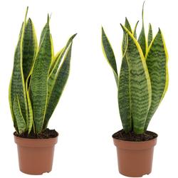 Dominik Zimmerpflanze Bogenhanf, Höhe: 20 cm, 2 Pflanzen