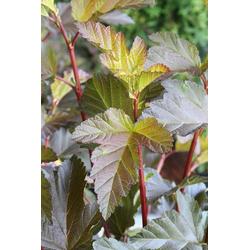 BCM Hecken Blasenspire Diable D'Or, Höhe: 30-40 cm, 3 Pflanzen