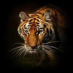Glasbild TIGER II (BHT 50x50x1 cm) Pro-Art