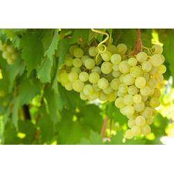 BCM Obstpflanze Weinrebe, gelb