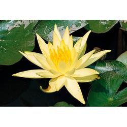 BCM Wasserpflanze Seerose Sulphurea gelb Wasserpflanzen Pflanzen Garten Balkon