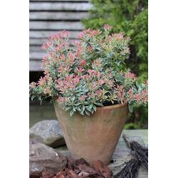 BCM Gehölze Pieris japonica Passion, Lieferhöhe: ca. 20 cm, 1 Pflanze