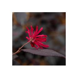 BCM Kletterpflanze Riemenblüte 'Ever Red' ® Spar-Set, Lieferhöhe ca. 80 cm, 2 Pflanzen