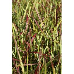 BCM Gräser Rutenhirse virgatum 'Cheyenne Sky' Spar-Set, Lieferhöhe ca. 40 cm, 2 Pflanzen