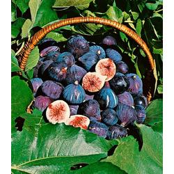 BCM Obstpflanze Feigenbaum, blau