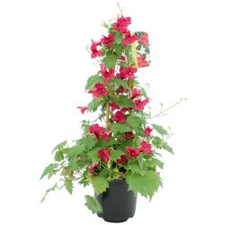 BCM Beetpflanze Trompetenwinde, rot, Höhe: 70 cm