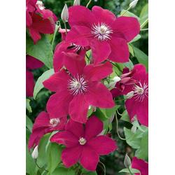 BCM Beetpflanze Clematis Rouge Cardinal, 2 Pflanzen