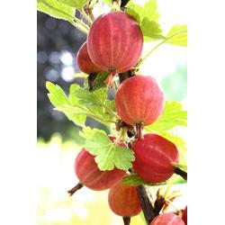BCM Obstpflanze Ribes uva-crispa Relina, Lieferhöhe: ca. 40 cm, 1 Pflanze