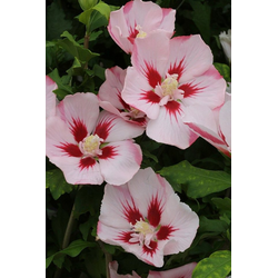 BCM Gehölze Hibiscus Hamabo, Höhe: 80 cm, 1 Pflanze
