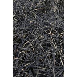 BCM Staude Schlangenbart Gras