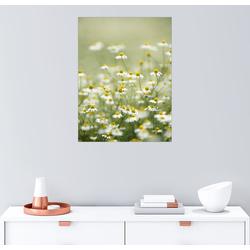 Posterlounge Wandbild, Echte Kamille, Arzneipflanze 60 cm x 80 cm