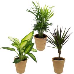 Dominik Zimmerpflanze Grünpflanzen-Set, Höhe: 30 cm, 3 Pflanzen in Dekotöpfen grün Garten Balkon