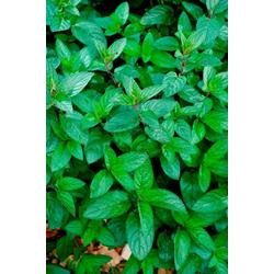 Volmary Gewürzkraut Schokoladen-Minze, Höhe: 25 cm, 3 Pflanzen