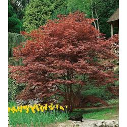 BCM Gehölze Roter Fächerahorn Atropurpureum