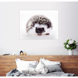 Posterlounge Wandbild, Flauschiger Weißbauchigel 70 cm x 50 cm