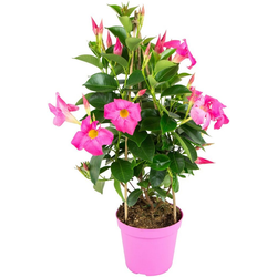 BCM Beetpflanze Fuchsia Flame, Höhe: 45 cm