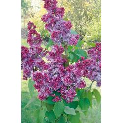 BCM Staude Flieder Prince Wolkonsky, Höhe: 60 cm, 1 Pflanze