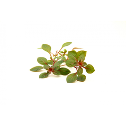 Dennerle Aquarienpflanze im BundLudwigia spec. ´Super Red´