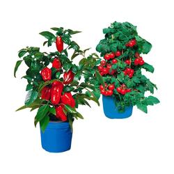 BCM Beetpflanze Balkongemüse Set, mit Paprika- und Tomatenpflanze