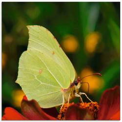 Artland Glasbild Zitronenfalter, Insekten, (1 St.) beige Glasbilder Bilder Bilderrahmen Wohnaccessoires