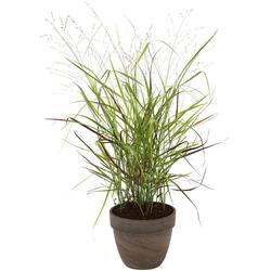 BCM Gräser Rutenhirse virgatum 'Cheyenne Sky' Spar-Set, Lieferhöhe ca. 40 cm, 3 Pflanzen