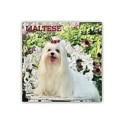 Maltese - Malteser 2021 - 16-Monatskalender mit freier DogDays-App
