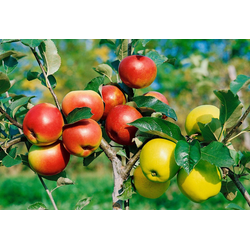BCM Obstbaum Apfel