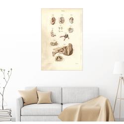 Posterlounge Wandbild, Ohr und Trommelfell 60 cm x 90 cm