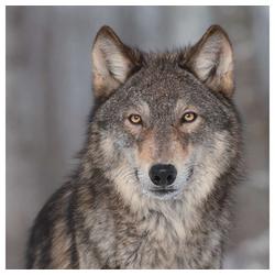 Linoows Papierserviette 20 Servietten, Europäischer Grauwolf, Wolf Portrai, Motiv Europäischer Grauwolf, Wolf Portrait