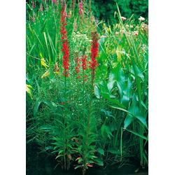 BCM Wasserpflanze Lobelie Set