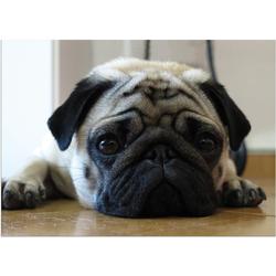 Fußmatte Fußmatte Mops frech Hund für Mopsfans 50x70 cm, matches21 HOME & HOBBY, rechteckig, Höhe 5 mm 70 cm x 50 cm x 5 mm